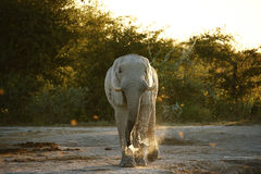 Elephant Drinking time Royalty Free Stock Images