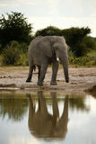Elephant Drinking time Stock Photography