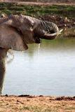 Elephant Drinking Water Royalty Free Stock Image