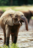 Elephant. The elephant is drinking water Stock Images