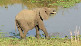 Elephant drinking water stock video footage