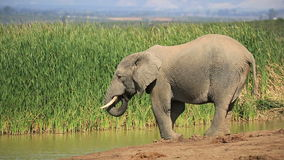 Elephant drinking water Stock Images