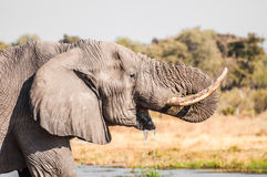 Elephant drinking water Stock Photos