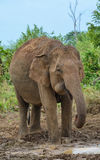 Elephant drinking water Stock Photography