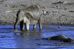 Elephant drinking at water hole,. 