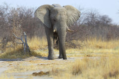 Elephant drinking water from a hole Royalty Free Stock Images
