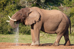 Elephant drinking Water Stock Photo