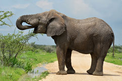 Elephant drinking water from pool Royalty Free Stock Images
