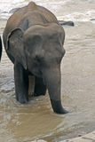 Elephant drinking water Royalty Free Stock Photography