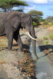 Elephant drinking water Royalty Free Stock Photo