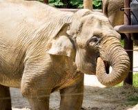 Elephant Drinking Water stock image