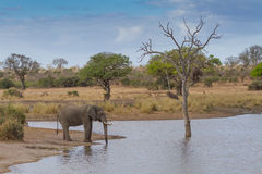 Elephant Drinking Water at Waterhole Royalty Free Stock Image