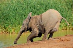 Elephant drinking water Royalty Free Stock Photos
