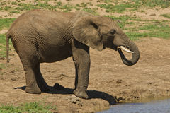 Elephant drinking at a waterhole Stock Image