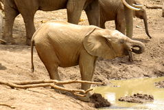 African animals. Elephant drinking at waterhole in Mapungubwe National Park Royalty Free Stock Images