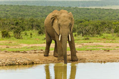 Elephant drinking Stock Photos