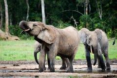 The elephant drinks. Royalty Free Stock Photo