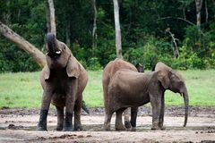 The elephant drinks. The African Forest Elephant (Loxodonta cyclotis) is a forest dwelling elephant of the Congo Basin Stock Photos