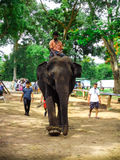 Elephant dubare Royalty Free Stock Images