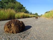 Elephant dung Stock Image