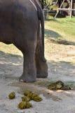 Elephant dung Royalty Free Stock Photo