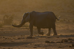 Elephant at dusk in African bush Royalty Free Stock Images