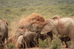 Elephant dust bath. Royalty Free Stock Image