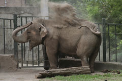Elephant dust bath Stock Photography