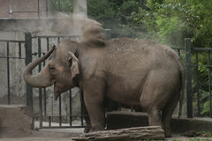 Elephant dust bath Royalty Free Stock Image
