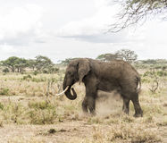 Elephant dust bathing, Serengeti, Tanzania Stock Photography