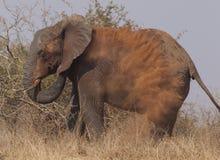 Elephant dusting Stock Photos