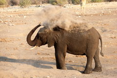 Elephant Dusting Royalty Free Stock Photos