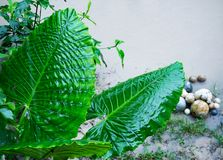 Elephant ear (Alocasia Odora) after rain, top view. Huge tropical wet leaves stock photography