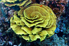 Elephant ear coral Stock Photography