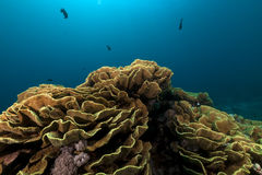 Elephant ear coral (mycedium elephantotus) in the Red Sea. Stock Photo
