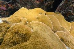 Elephant ear coral (mycedium elephantotus) in the Red Sea. Stock Photo