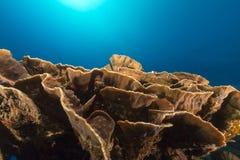 Elephant ear coral (mycedium elephantotus) in the Red Sea. Royalty Free Stock Photo