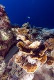 Elephant ear coral (mycedium elephantotus) in the Red Sea. Stock Image