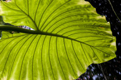 Elephant ear horizontal Stock Image