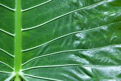 Elephant ear leaf Stock Photos