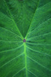 Elephant ear leaf Royalty Free Stock Photos