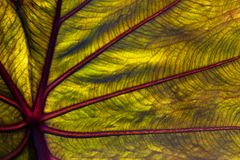 Elephant ear leaf in close up Stock Image