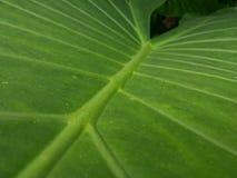 Elephant ear leaf Stock Photo