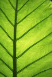 Elephant ear leaf detail Royalty Free Stock Photography