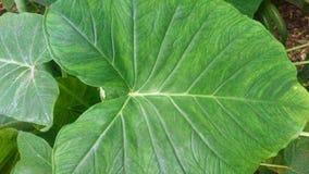 Elephant Ear Leaf Textured Closeup. A closeup of a leaf of an elephant ear plant stock photo