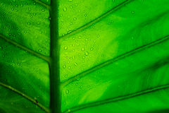 Elephant ear leaf with water drop Stock Photos