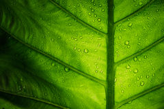 Elephant Ear Leaf With Water Drop Royalty Free Stock Photography