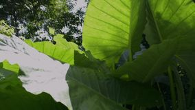 Elephant ear leafs under sunshine in tropical rain forest. stock video footage