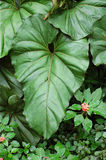Elephant Ear Plant Royalty Free Stock Photos