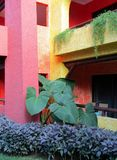 Elephant Ear plant against pink and yellow wall and Asparagus fern or Asparagus aethiopicus Sprengeri as landscaping plants. Elephant Ear plant against pink and royalty free stock images